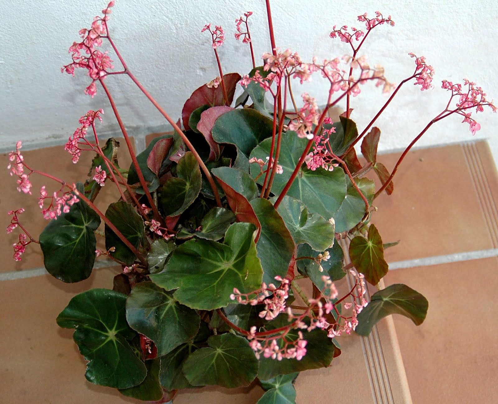 Begonia: home care for its comfortable life all year round 22