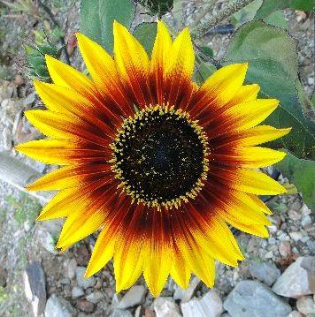 Floraciones en m laga y m s girasoles ornamentales for Diseno de plantas ornamentales