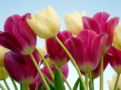 Amo tulipas!