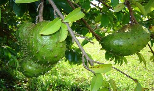 The fight for a better world: CANCER CURE DISCOVERED Soursop Tree In Kerala