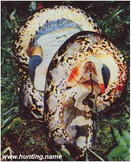 snake5 Comido pela cobra   Curiosidades