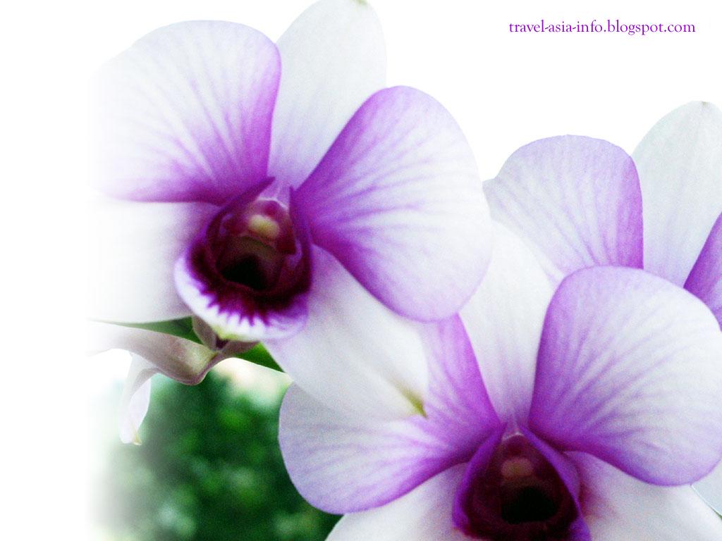 http://2.bp.blogspot.com/_3kph_lK9hHY/Swf-BfXLWKI/AAAAAAAAAG8/ujs7tG9TMpQ/s1600/desktop-wallpaper-orchid.jpg