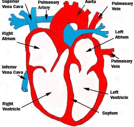 Cardiac and Resp systems: The structure of the Heart