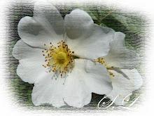 Květ šípku