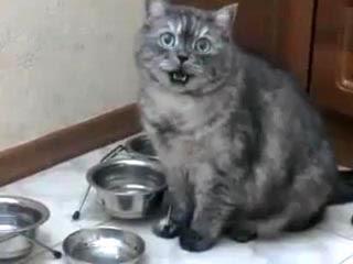 會敲碗的貓咪