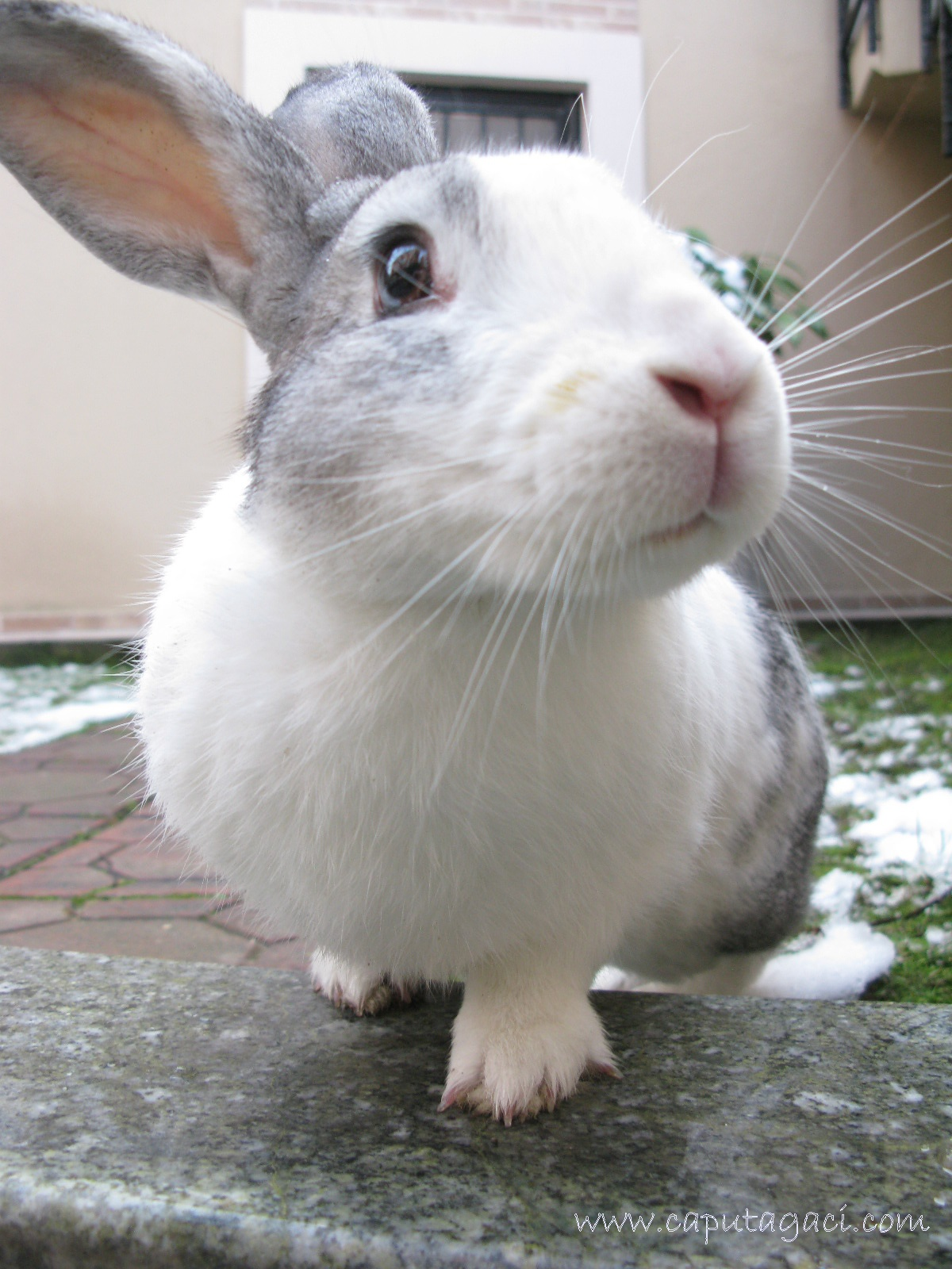O dünyadaki en büyük tavşan kimmiş Tavşan devleri: fazla köpek