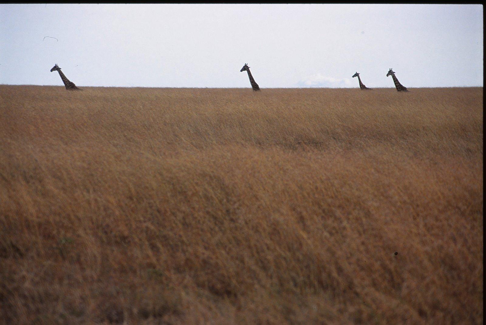 [Giraffes_horizon]