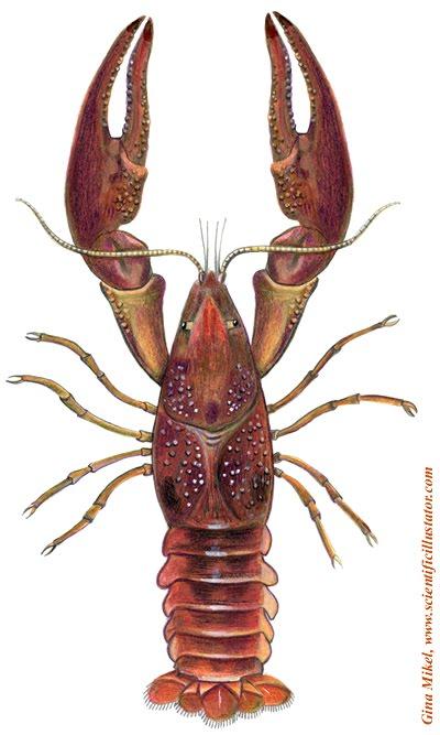 Wallpaper on Crayfish Wallpaper Shrimp Menu Food
