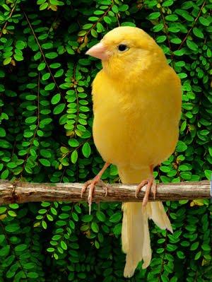 Beternak Kenari: Tips Memilih Burung Kenari: Menjual Ke