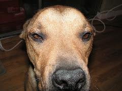 Scotch Dog