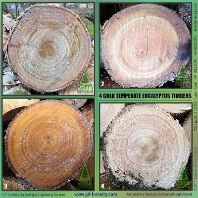 Four types of cold hardy Eucalyptus timber in Galicia, Northwestern Spain / Cuatro tipos de madera de eucalipto resistente a la helada en Galicia, Noroeste de España / GIT Forestry Consulting, Consultoria y Servicios de Ingenieria Agroforestal, Lugo, Galicia, España, Spain, EUCALYPTOLOGICS