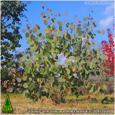 Cold hardy ornamental Eucalyptus polyanthemos coppice regrowth as a dieback perennial in a USDA Zone 8 garden / Rebrote de cepa en Eucalipto Silver Dolar ornamental resistente a las heladas / Cold hardy ornamental Eucalyptus Silver Dollar coppice regrowth as a dieback perennial in a USDA Zone 8 garden / Gustavo Iglesias Trabado / GIT Forestry Consulting, Consultoría y Servicios de Ingeniería Agroforestal, Lugo, Galicia, España, Spain / Eucalyptologics: Information Resources on Eucalyptus Cultivation Worldwide / Eucaliptologics: Recursos de Informacion sobre el Cultivo del Eucalipto en el Mundo