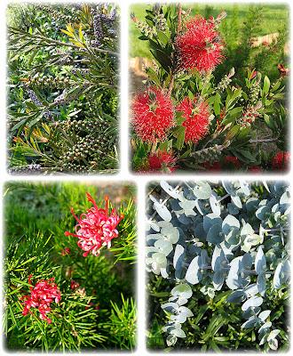 Callistemon Grevillea Eucalyptus garden Spain jardin Galicia GIT Forestry Consulting
