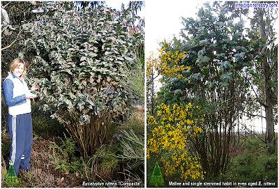 Eucalyptus nitens Compacta Eucalipto nitens enano plateado compacto Galicia España Spain GIT Forestry Consulting