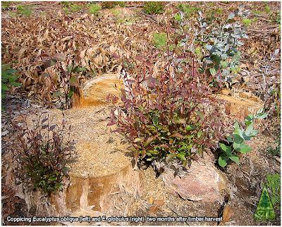 Eucalyptus obliqua and Eucalyptus globulus coppice in Galicia Northwestern Spain Rebrote de cepa en eucalipto oblicuo y eucalipto blanco en Galicia España GIT Forestry Consulting