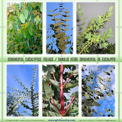 Ornamental Eucalyptus Foliage grown in Galicia, Northwestern Spain. Ramillo verde ornamental de eucalipto cultivado en Galicia, Noroeste de España. GIT Forestry Consulting - Consultoría y Servicios de Ingeniería Agroforestal