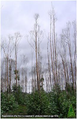 Regrowth from coppice after fire in Eucalyptus globulus, Galicia, Spain. Rebrote de cepa tras incendio en eucalipto blanco, Galicia, España. GIT Forestry Consulting, Consultoría y Servicios de Ingeniería Agroforestal