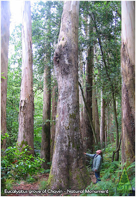 Eucalyptus grove at Chavín, Souto da Retorta, Lugo, Galicia, Spain. Natural Monument. Tallest Eucalyptus grove in Europe. / Eucaliptal de Chavín, Lugo, España. GIT Forestry Consulting