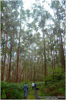 Understorey of an Eucalyptus globulus coastal rainforest: something grows under organic renewable recyclable and environmentally friendly Eucalyptus cultivated tree farms / Sotobosque de un bosque lluvioso costero de Eucalyptus globulus cultivado organicamente, productor de materia prima organica, renovable, reciclable y fijadora de carbono: hay vida bajo los eucaliptos / Gustavo Iglesias Trabado, Roberto Carballeira Tenreiro & Javier Folgueira Lozano / GIT Forestry Consulting SL, Consultoría y Servicios de Ingeniería Agroforestal, Galicia, España, Spain / Eucalyptologics, information resources on Eucalyptus cultivation around the world / Eucalyptologics, recursos de informacion sobre el cultivo del eucalipto en el mundo