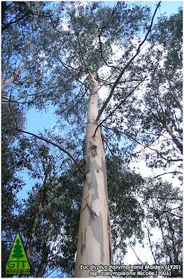 Bark of cold hardy Eucalyptus dalrympleana in Galicia / Mountain White Gum / Corteza de Eucalipto Blanco de Montaña (E. dalrympleana) en Galicia / GIT Forestry Consulting, Consultoría y Servicios de Ingeniería Agroforestal, España, Spain