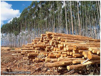 Eucalyptus forest in Brazil, by Celso Foelkel / Bosque de eucalipto en Brasil, por Celso Foelkel