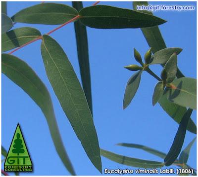 Juvenile leaves of cold hardy Eucalyptus viminalis in Galicia / White Gum / Manna Gum / Hojas juveniles de Eucalipto Blanco del Maná (E. viminalis) en Galicia / GIT Forestry Consulting, Consultoría y Servicios de Ingeniería Agroforestal, España, Spain