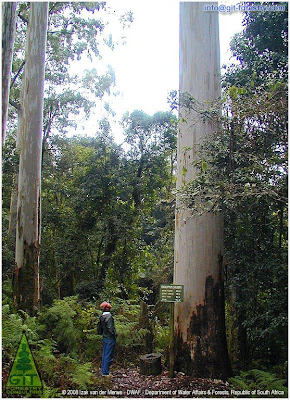 Tallest tree in Africa: Giant Eucalyptus saligna at Woodbush Forest Reserve, South Africa / El arbol mas alto de Africa: Eucalipto saligna gigante en la Reserva Forestal de Woodbush, Sudafrica / by Izak van der Merwe / Gustavo Iglesias Trabado / GIT Forestry Consulting, Consultoría y Servicios de Ingeniería Agroforestal, Lugo, Galicia, España, Spain / Eucalyptologics, information resources on Eucalyptus cultivation around the world / Eucalyptologics, recursos de informacion sobre el cultivo del eucalipto en el mundo