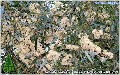 Eucalyptus species identification by botanical comparison of flower buds and fruits / Identificacion botanica de especies de eucalipto por comparacion de flores y frutos / Flowering Eucalyptus cladocalyx in bloom, Sugar Gum / Gustavo Iglesias Trabado / GIT Forestry Consulting, Consultoría y Servicios de Ingeniería Agroforestal, Galicia, España, Spain / Eucalyptologics, information resources on Eucalyptus cultivation around the world / Eucalyptologics, recursos de informacion sobre el cultivo del eucalipto en el mundo