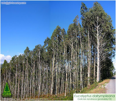 Timber plantation of cold hardy Eucalyptus dalrympleana in Galicia / Mountain White Gum / Plantacion Forestal Maderable de Eucalipto Blanco de Montaña (E. dalrympleana) en Galicia / Gustavo Iglesias Trabado / GIT Forestry Consulting, Consultoría y Servicios de Ingeniería Agroforestal, España, Spain / Eucalyptologics, Information resources on Eucalyptus cultivation Worldwide / Recursos de Informacion sobre el Cultivo del Eucalipto en el Mundo