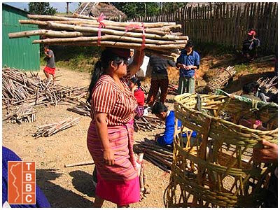 Eucalyptus renewable firewood source for refugee camps in Cambodia and Thailand