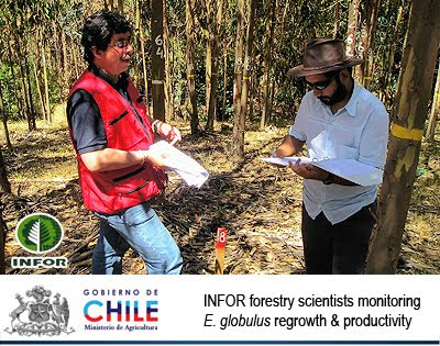INFOR / Instituto Forestal / Ministerio de Agricultura, Gobierno de Chile / INFOR forestry scientists lead by Juan Carlos Pinilla inspecting Eucalyptus globulus regrowth and productivity / Cientificos forestales chilenos liderados por Juan Carlos Pinilla inspeccionando rebrote de cepa y productividad en Eucalyptus globulus / Gustavo Iglesias Trabado, Roberto Carballeira Tenreiro and Javier Folgueira Lozano / GIT Forestry Consulting SL, Consultoría y Servicios de Ingeniería Agroforestal, Lugo, Galicia, España, Spain / Eucalyptologics, information resources on Eucalyptus cultivation around the world / Eucalyptologics, recursos de informacion sobre el cultivo del eucalipto en el mundo