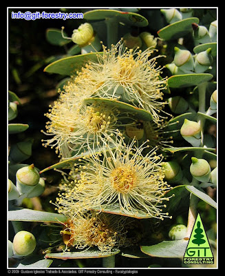 Cold hardy Eucalyptus pulverulenta blooming in Galicia / Eucalipto ornamental resistente a la helada floreciendo en Galicia / Gustavo Iglesias Trabado, GIT Forestry Consulting, Consultoria y Servicios de Ingenieria Agroforestal, Lugo, Galicia, España, Spain / Eucalyptologics, Information resources on sustainable eucalypt cultivation worldwide / Recursos de informacion sobre el cultivo sostenible del eucalipto en el mundo