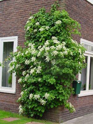 Il giardino sfumato romantiche ortensie - Ortensia rampicante petiolaris ...