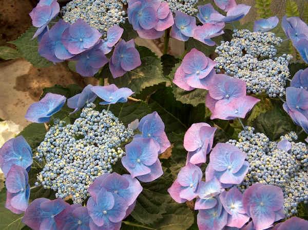 Il giardino sfumato romantiche ortensie - Ortensie colori ...