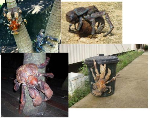 Coconut Crabs: El cangrejo de los cocoteros