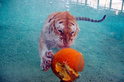 Tigre de Bengala jugando en el agua con una calabaza