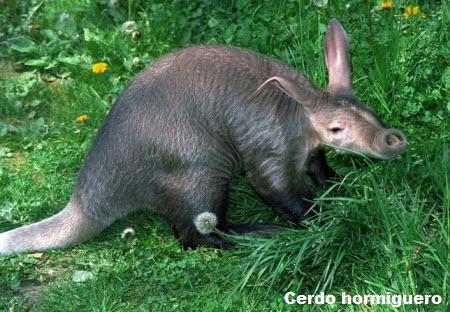Cerdo hormiguero ( Orycteropus afer )