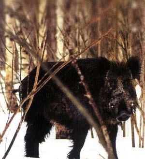 По популярности охота на кабана вполне сравнима с охотой на лося.