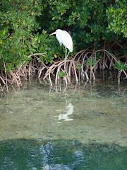 The Resident Egret
