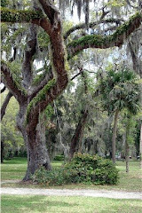 Live Oak Trees Covered with Spanish Moss