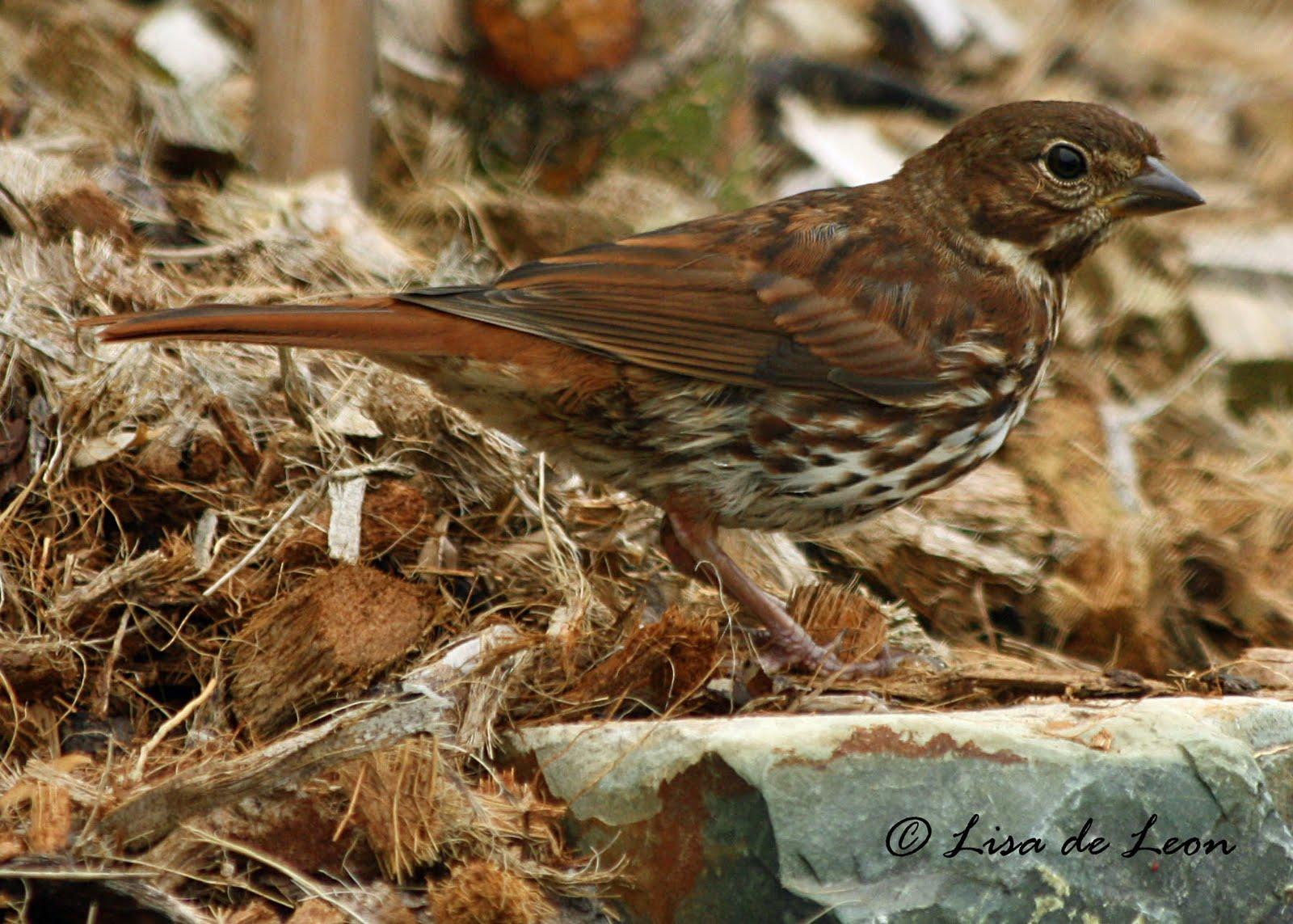 fox sparrow backyard various bird species