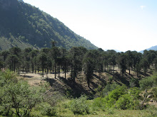 Bosque de Araucarias