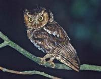 Moutain Scops Owl
