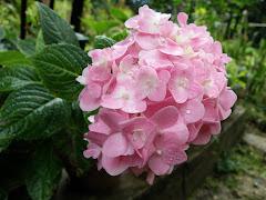 selembut merah jambu