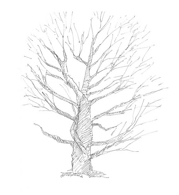 beech tree coloring pages - photo#19