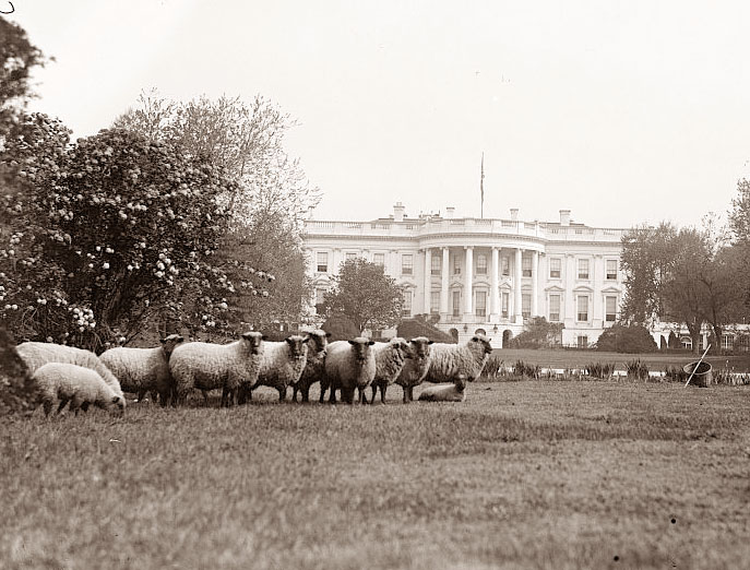 an analysis of the sheep on the white house lawn Even the white house changed with the onset of world war i sheep were brought to graze in the white house lawns in order to save the manpower required to mow the expansive grounds wool from the sheep was sold as a fundraiser for the red cross tours and receptions ceased, and all packages were thoroughly inspected before.