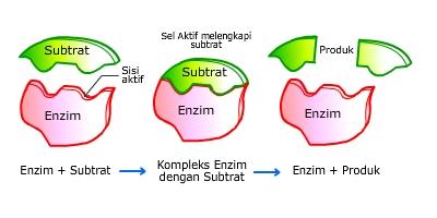 senyawa enzim itu sendiri setelah produk terbentuk maka enzim akan ...