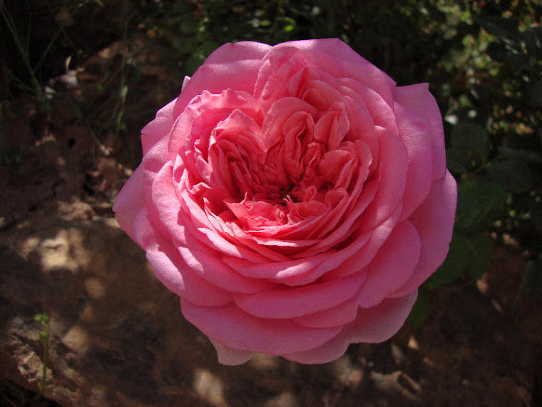 Abraham Darby ~ Such a Bright Pink in the Shade
