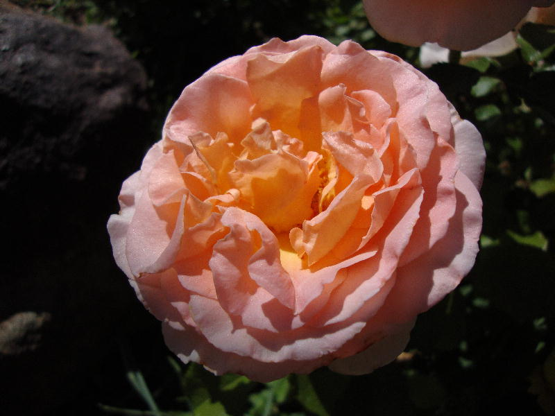 Glowing Royal Wedding Rose