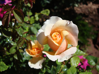 A Very Fragrant and Beautiful Rose